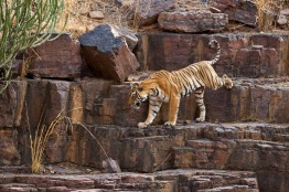 Tiger in central section of park.
